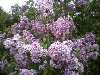 flowers_more/Lilac_closeup.jpg